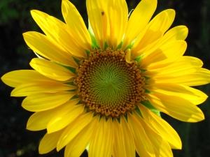 kwiat sloneczny